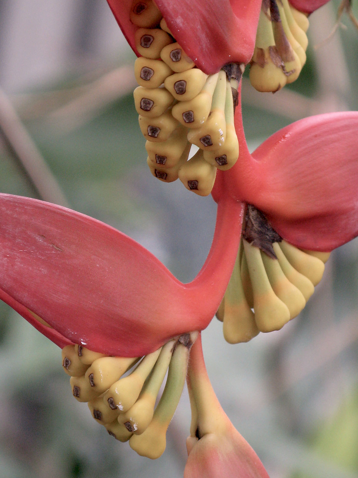 Heliconia collinsiana collinsiana 6
