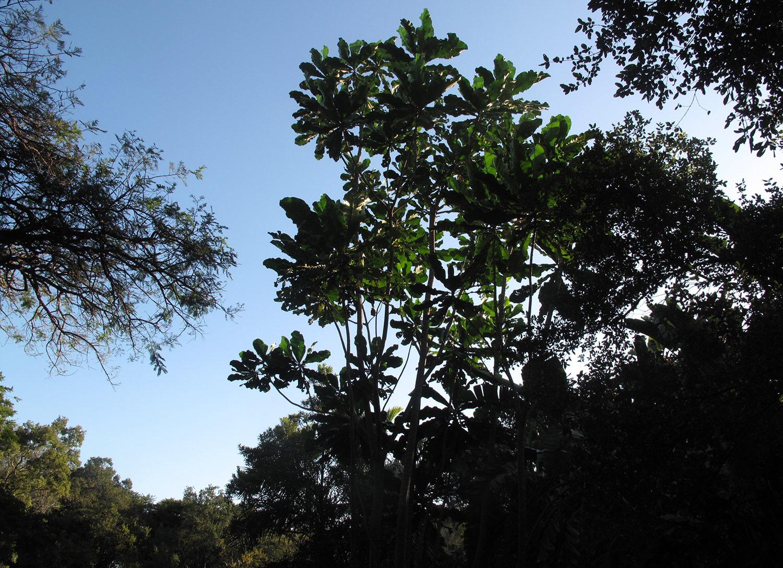 Anthocleista-grandiflora-35-