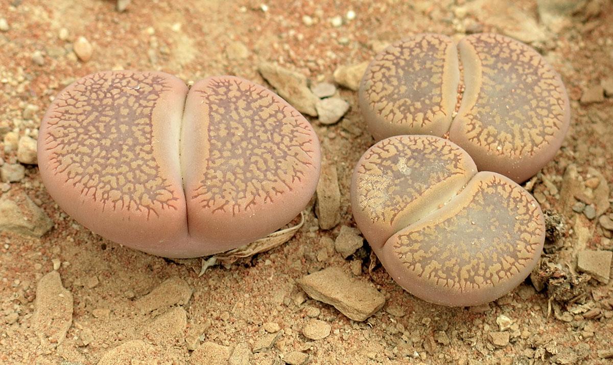 Lithops aucampiae euniceae euniceae  1