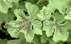 Pelargonium tomentosum 23