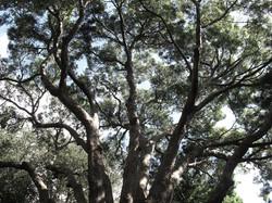 Podocarpus falcatus 10
