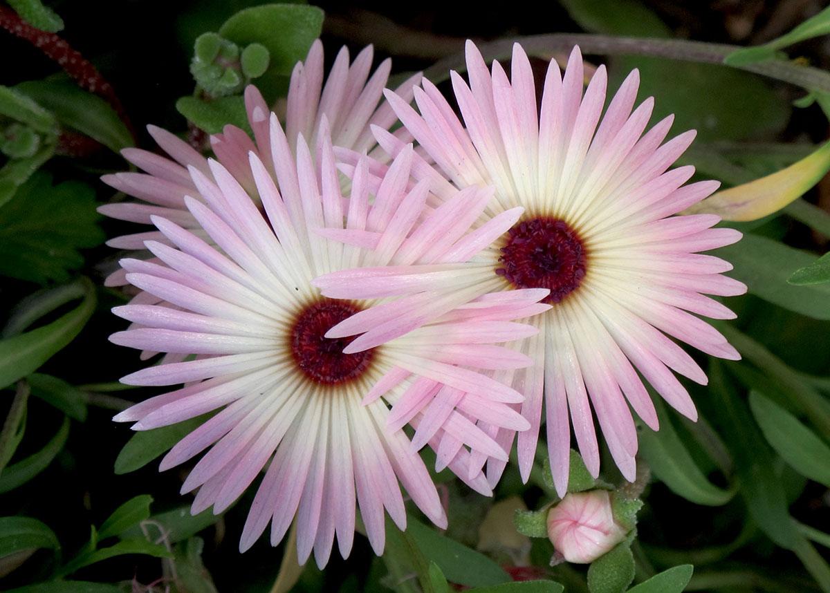 Dorotheanthus bellidiformis 9