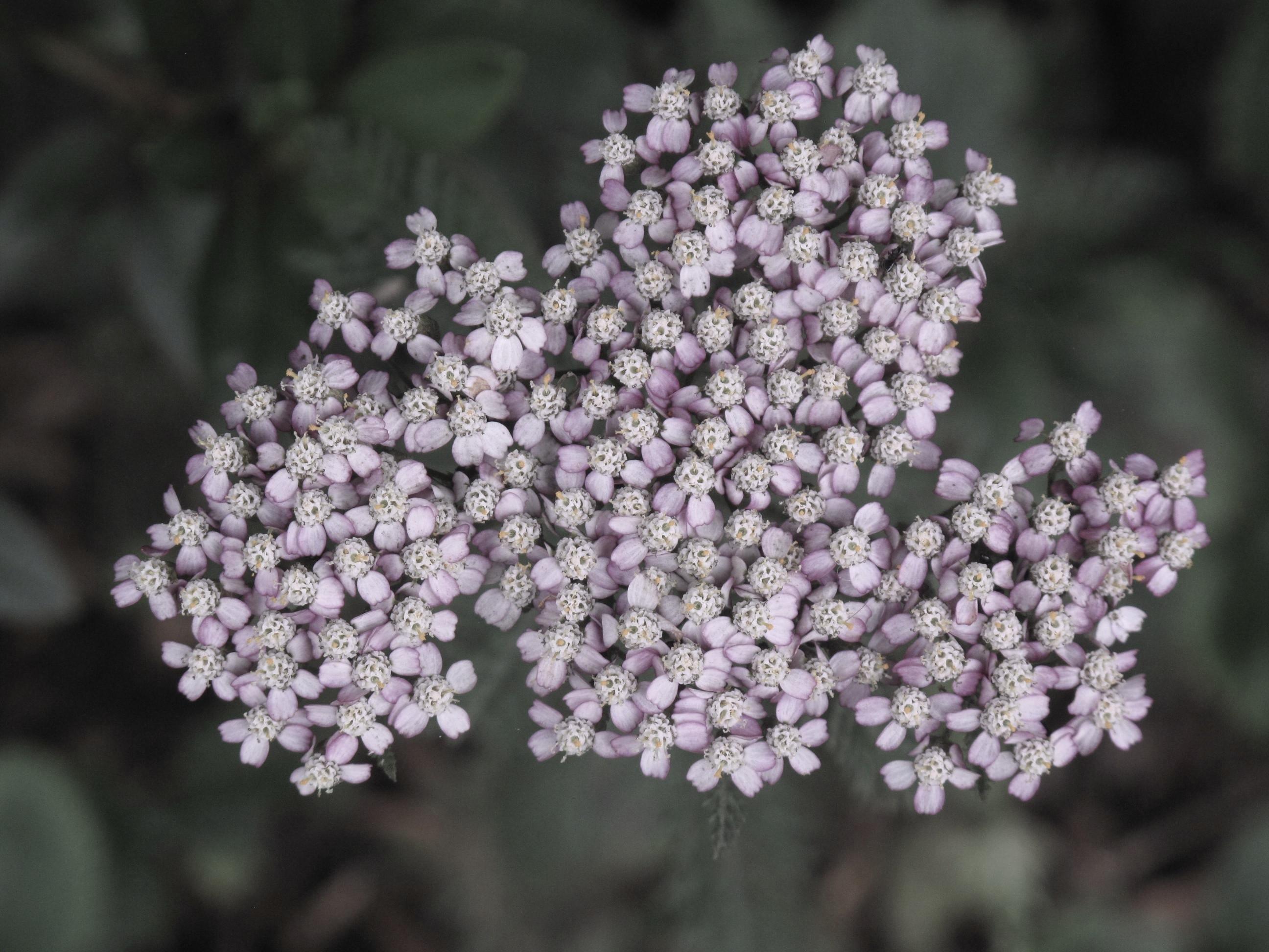 Achillea millefolium 32
