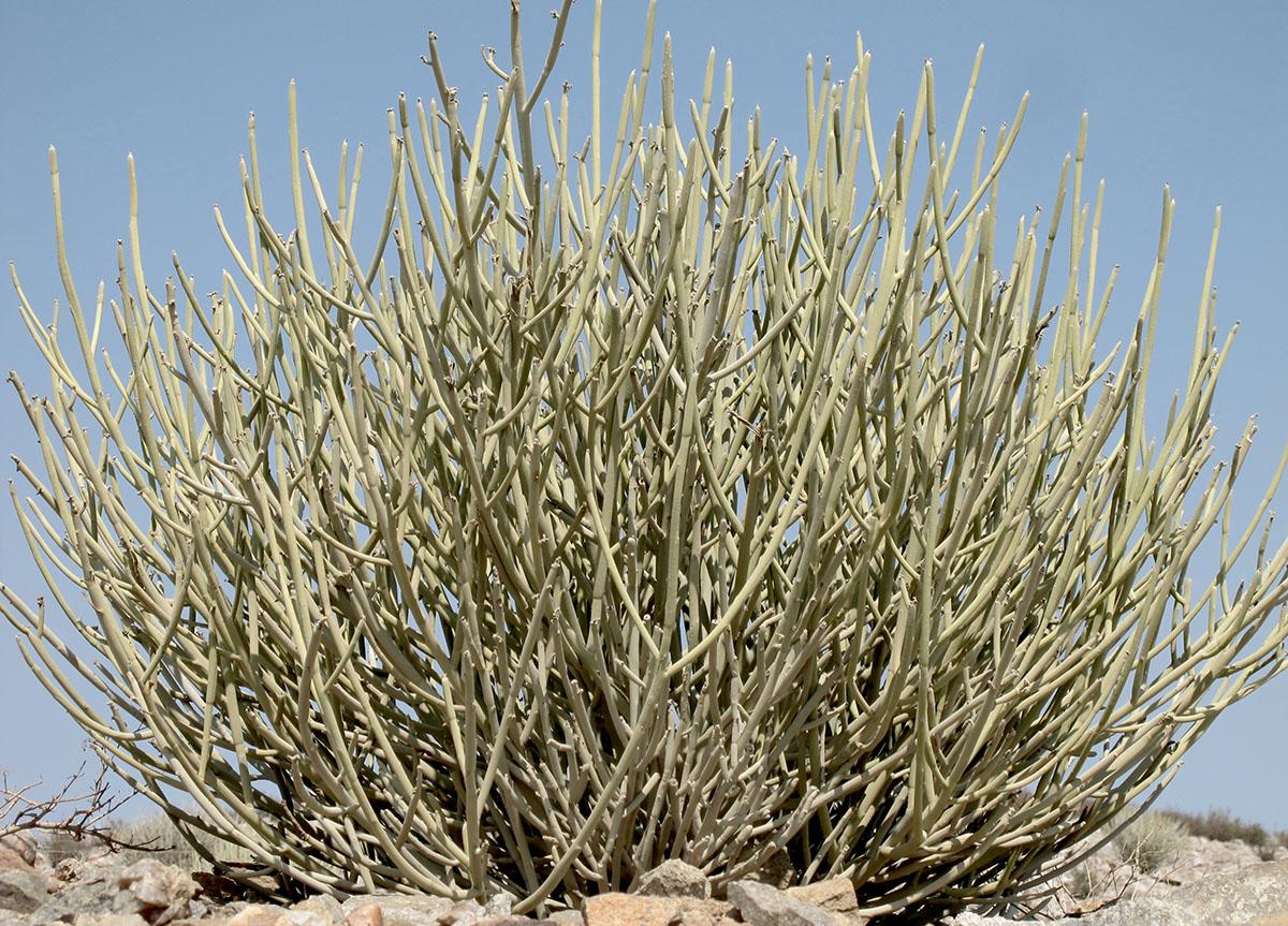 Euphorbia gregaria 4