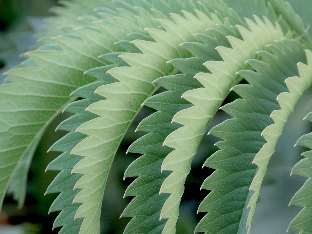 Melianthus major 72