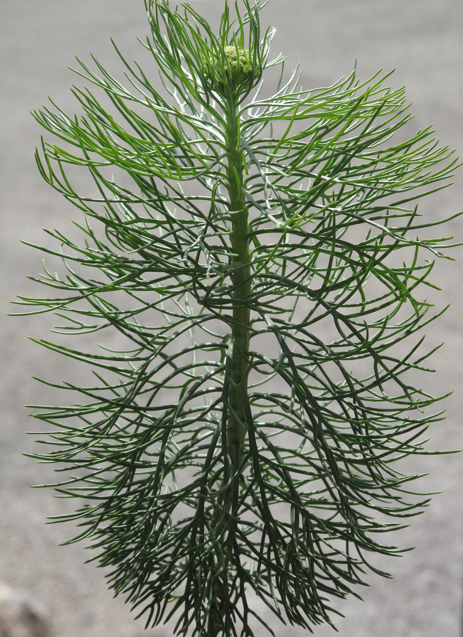 Athanasia-crithmifolia-10-