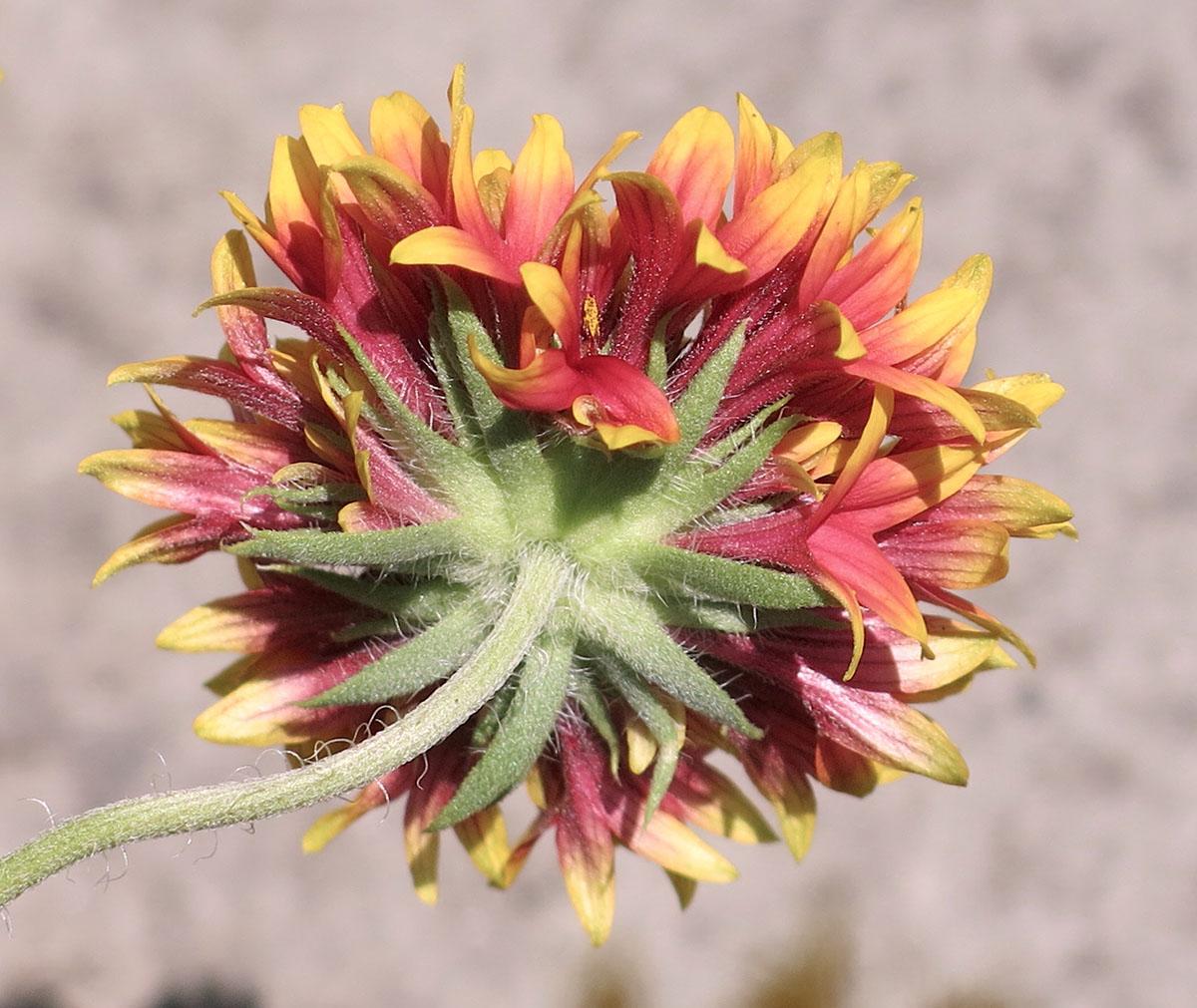 Gaillardia pulchella Sundance Bicolor 5
