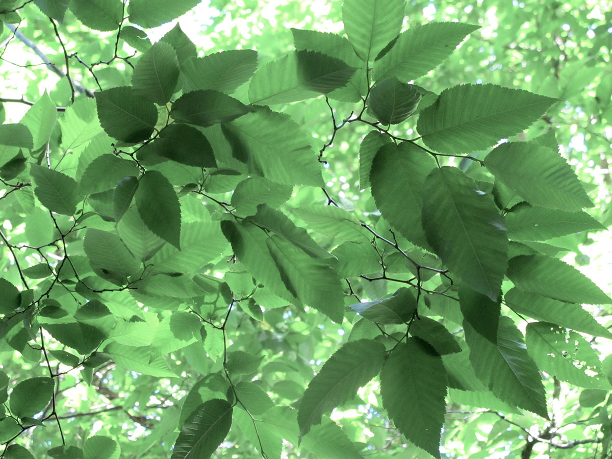 Ostrya carpinifolia 5