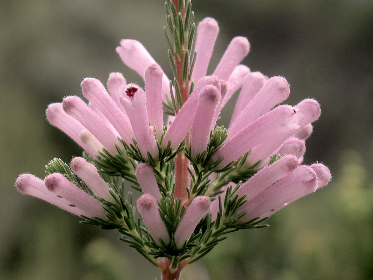 Erica verticillata 56