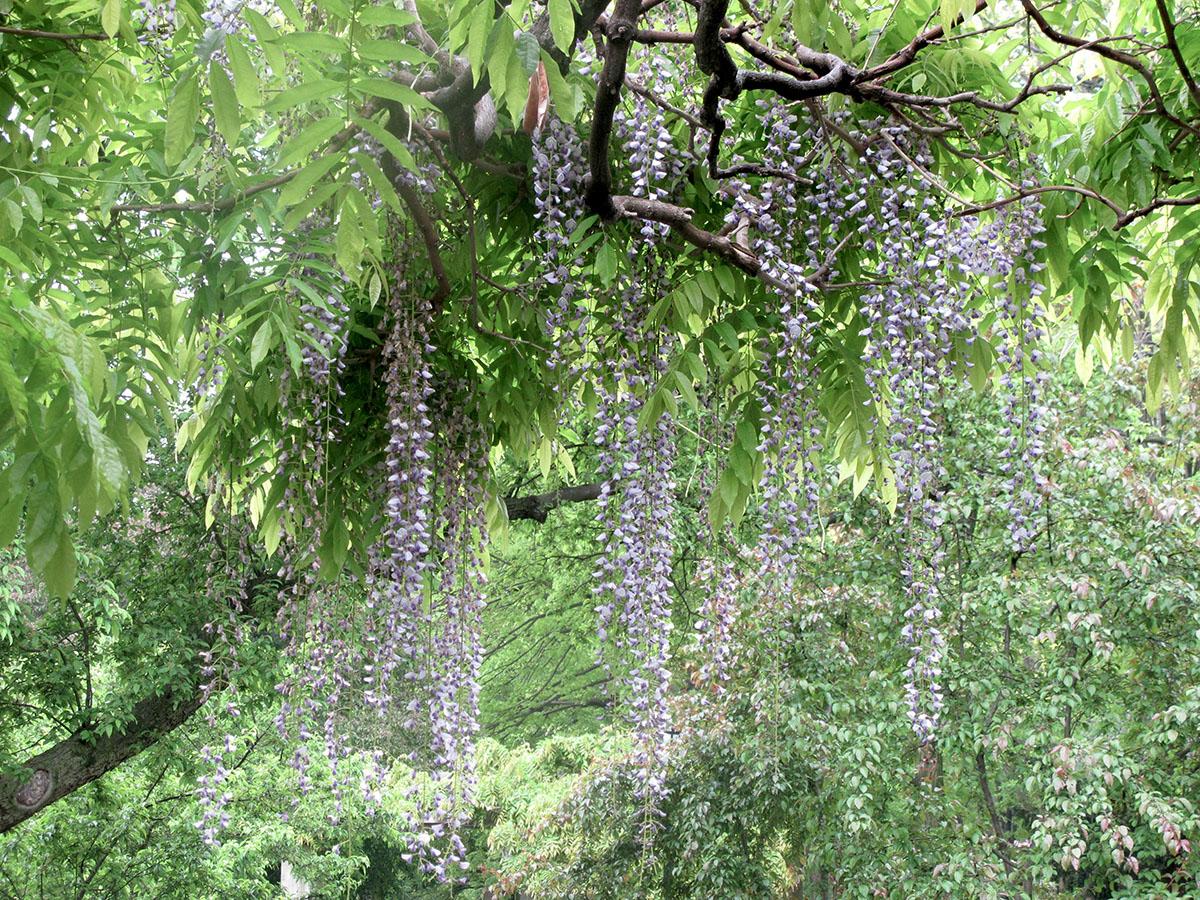 Wisteria floribunda 38