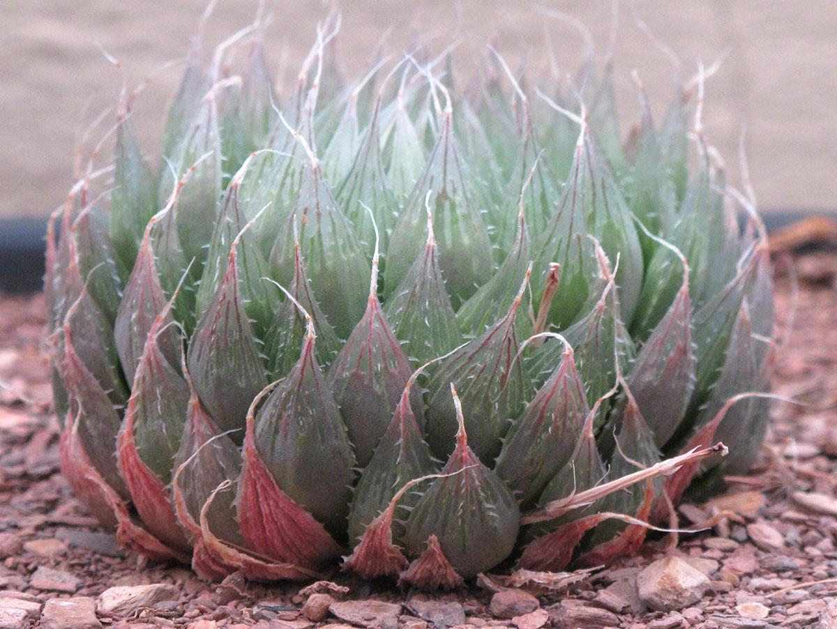 Haworthia cooperi gordoniana 5