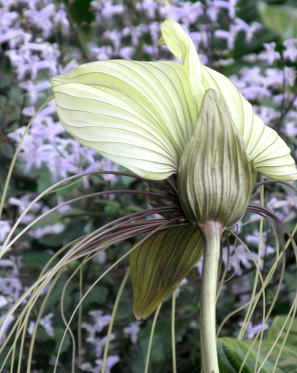 Tacca integrifolia 5