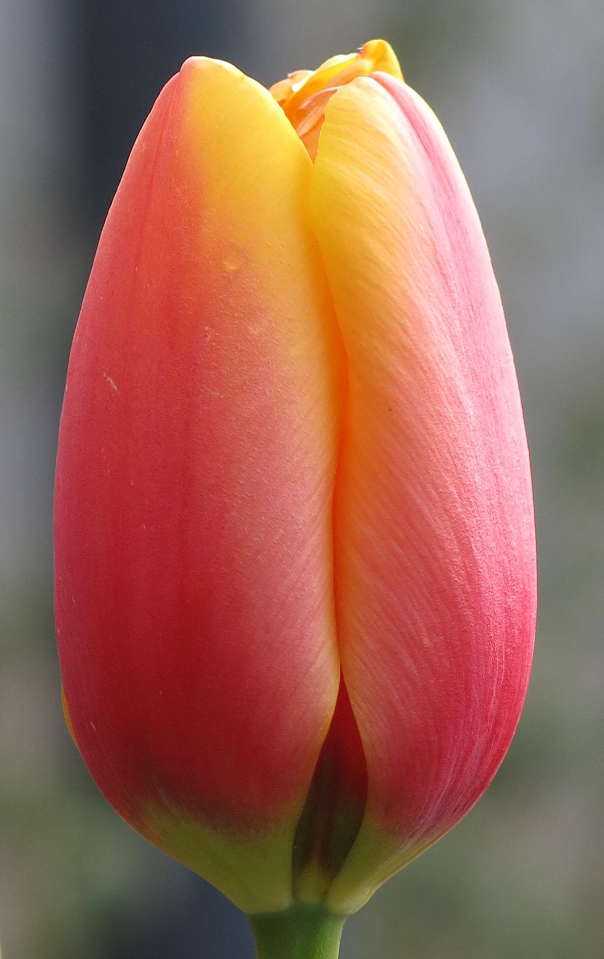 Tulipa Sweet Impression 3