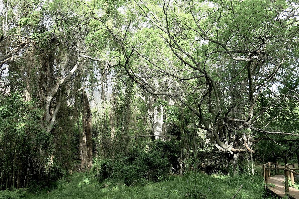 Ficus sur 68