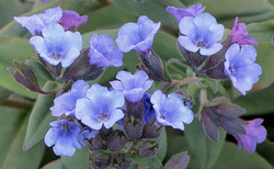 Pulmonaria officinalis Blue Ensign 7