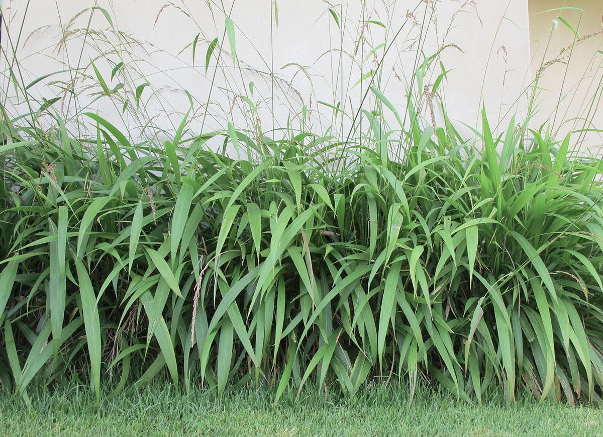 Setaria megaphylla 6