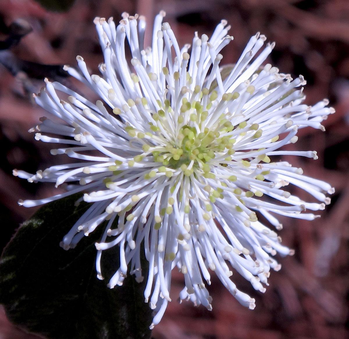 Fothergilla gardenii 3