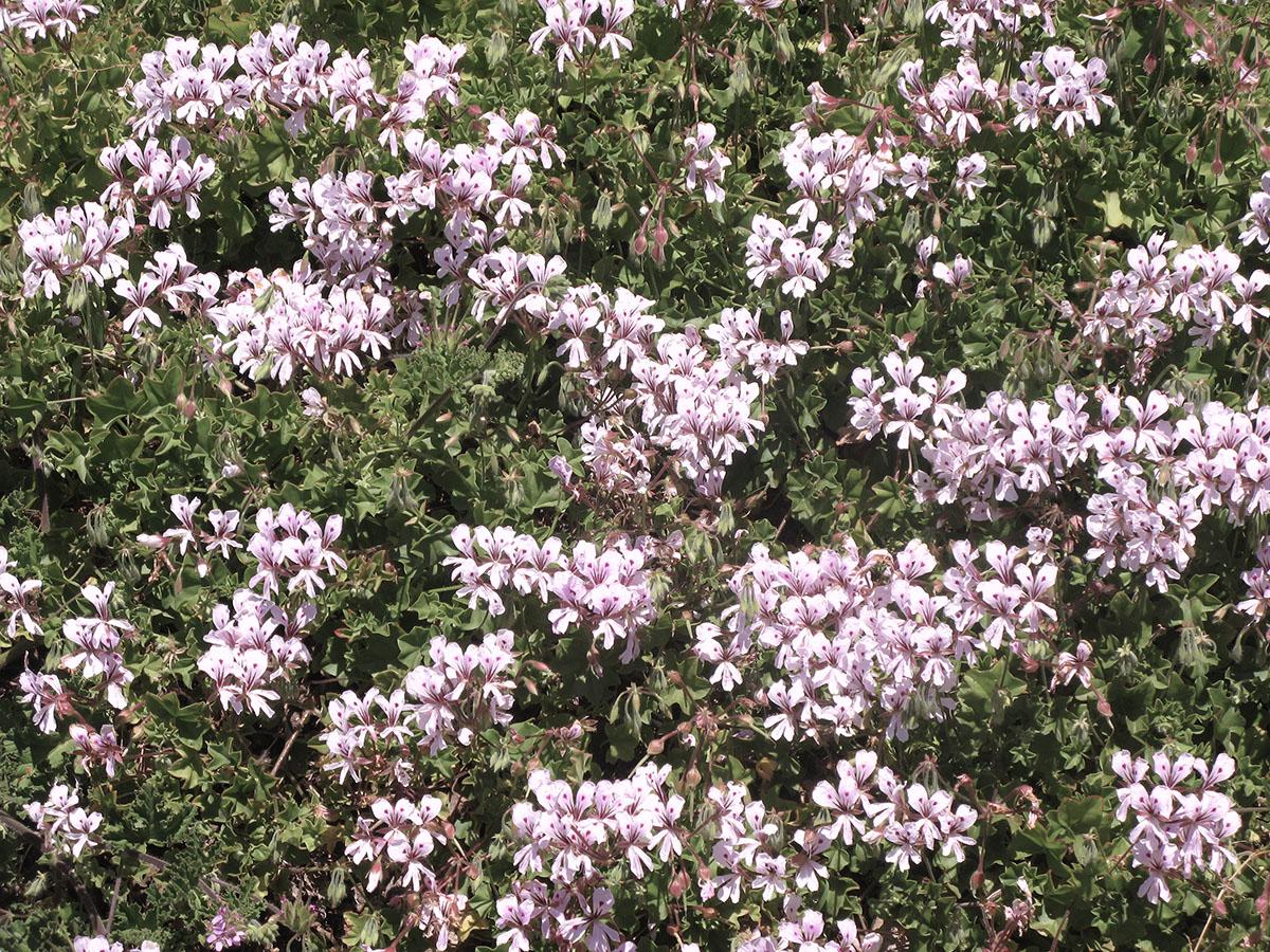 Pelargonium peltatum 7