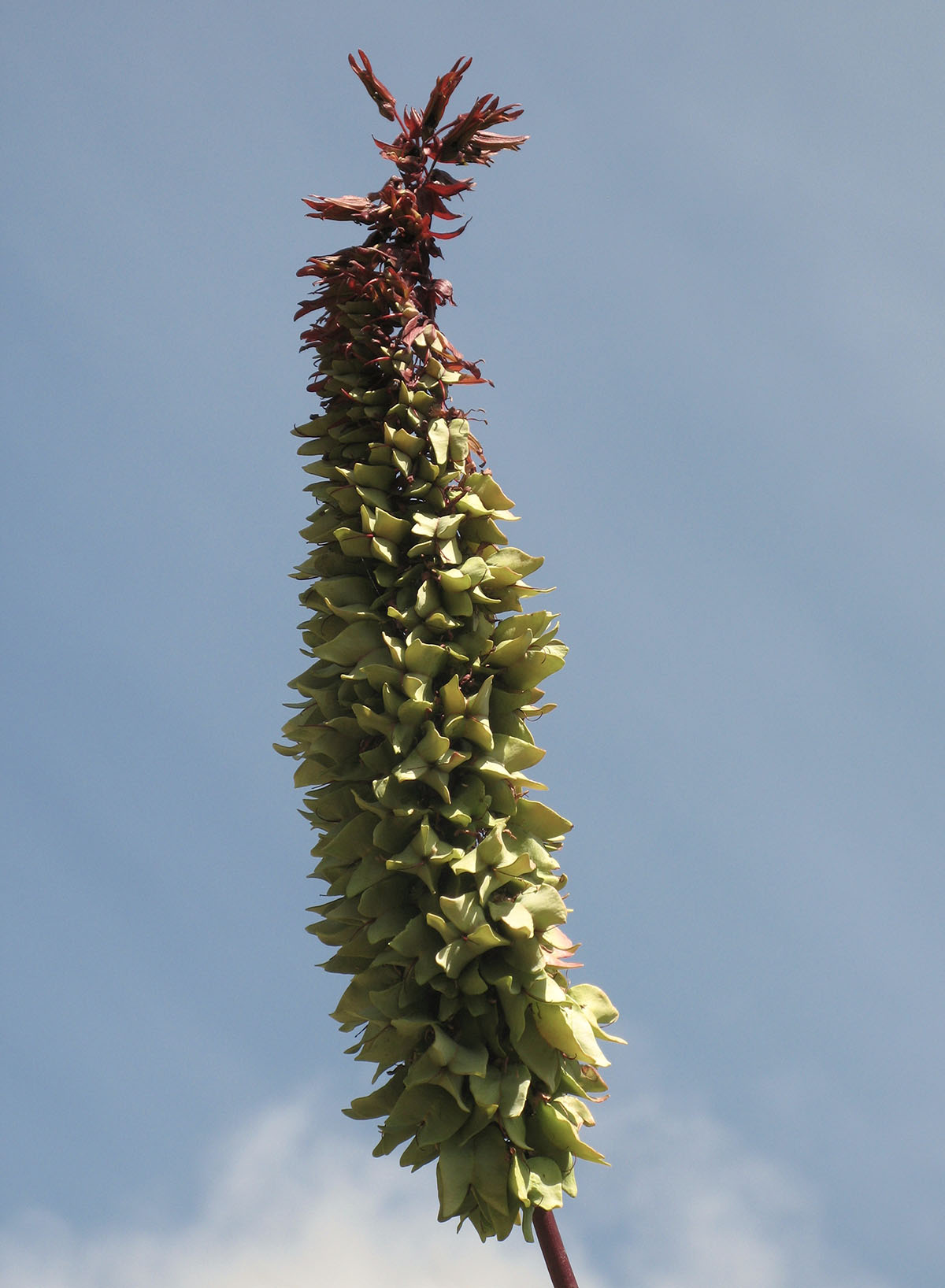 Melianthus major 36