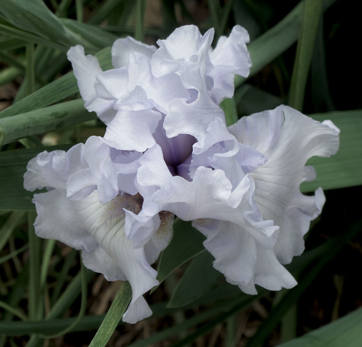 Iris Clarence X Unknown 3
