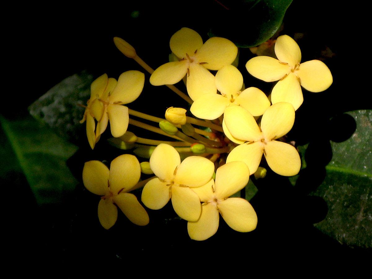 Ixora coccinea 'Dwarf Yellow' 9