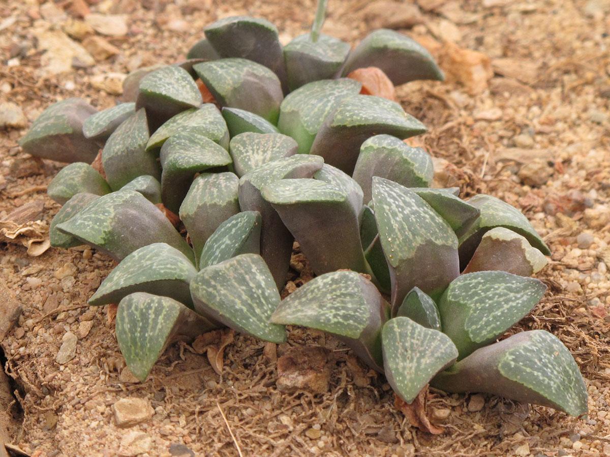 Haworthia pygmaea argeonto-maculosa 4
