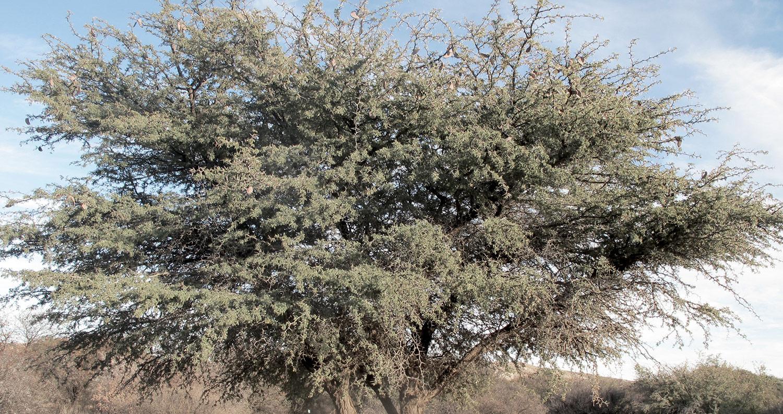 Acacia-erioloba-115-