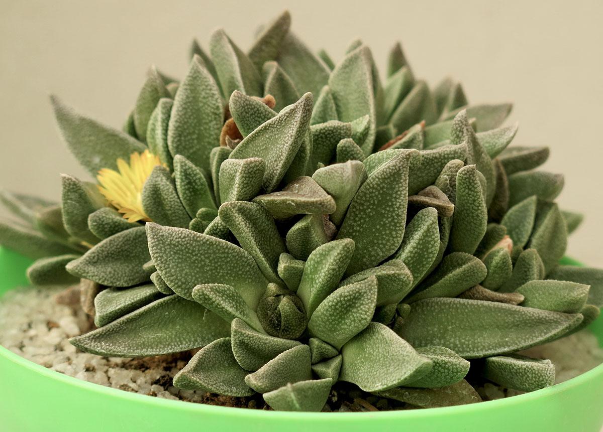 Nananthus aloides 8