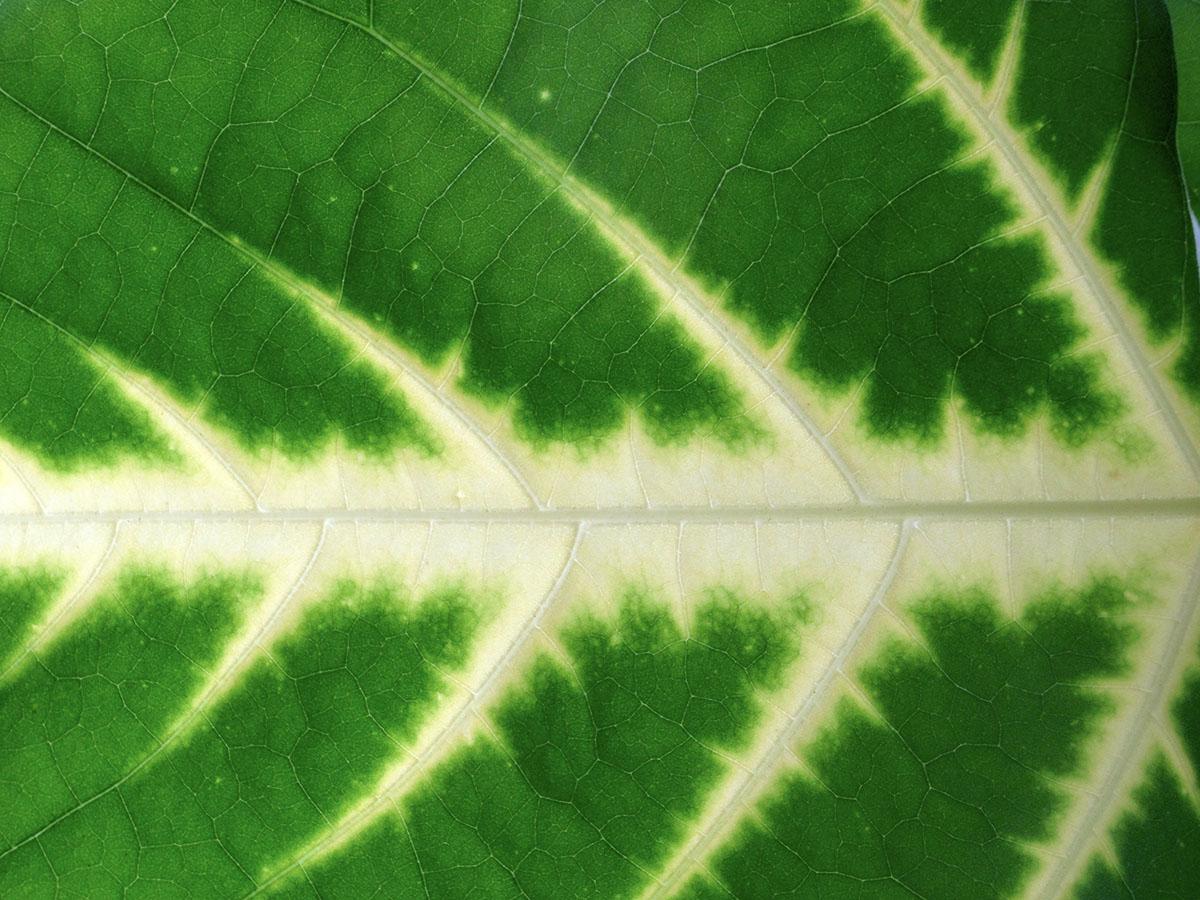 Erythrina variegata 2