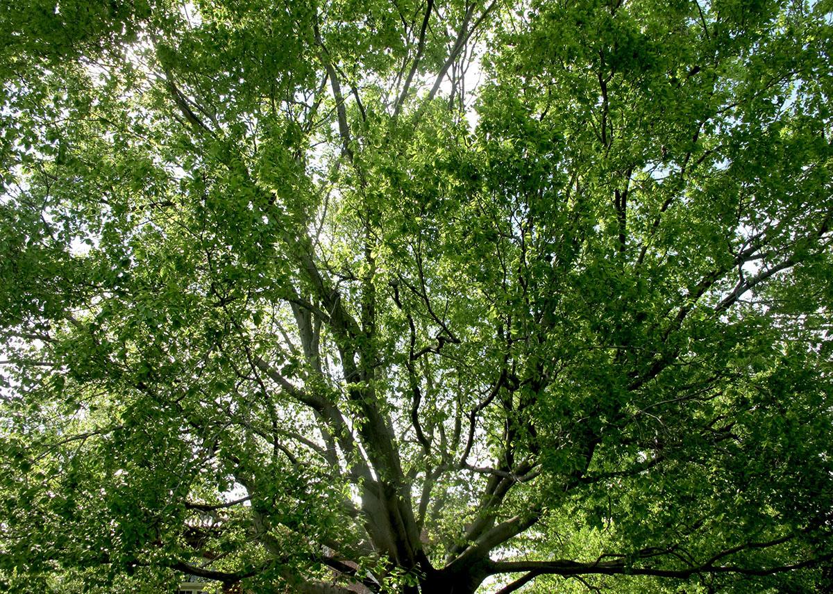 Fagus grandifolia 13 1