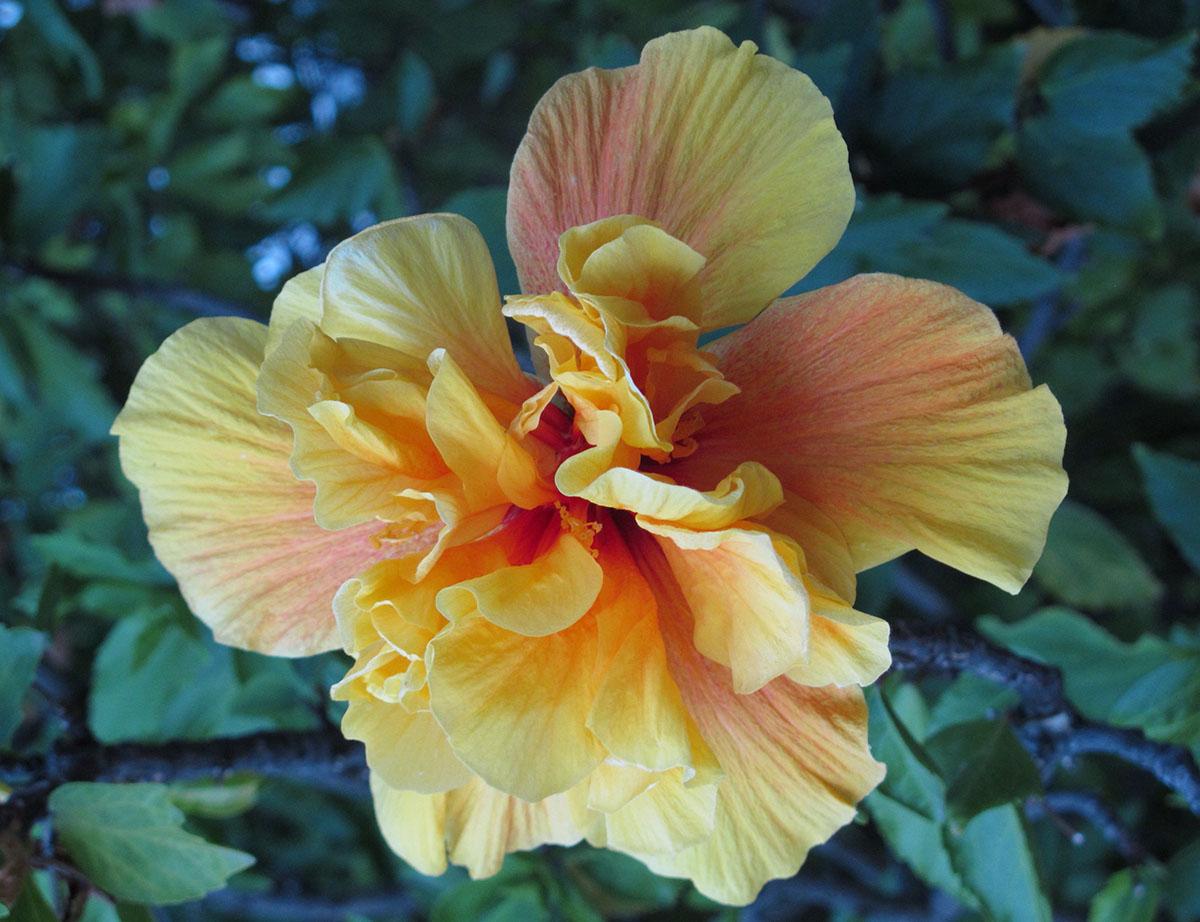 Hibiscus rosa-sinensis 97