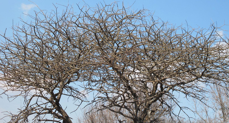 Acacia-erubescens-31-