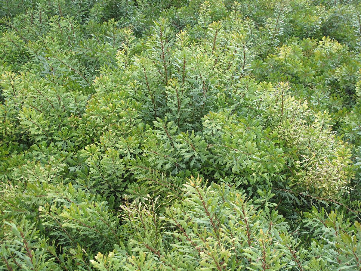 Myrica quercifolia 4