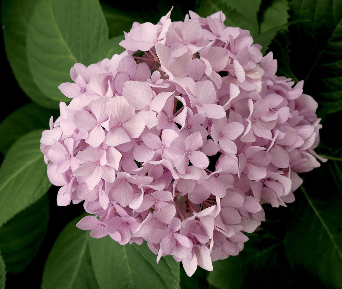 Hydrangea macrophylla Dooley 5