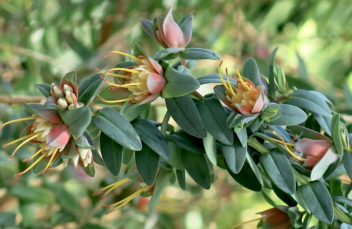 Darwinia citriodora 5