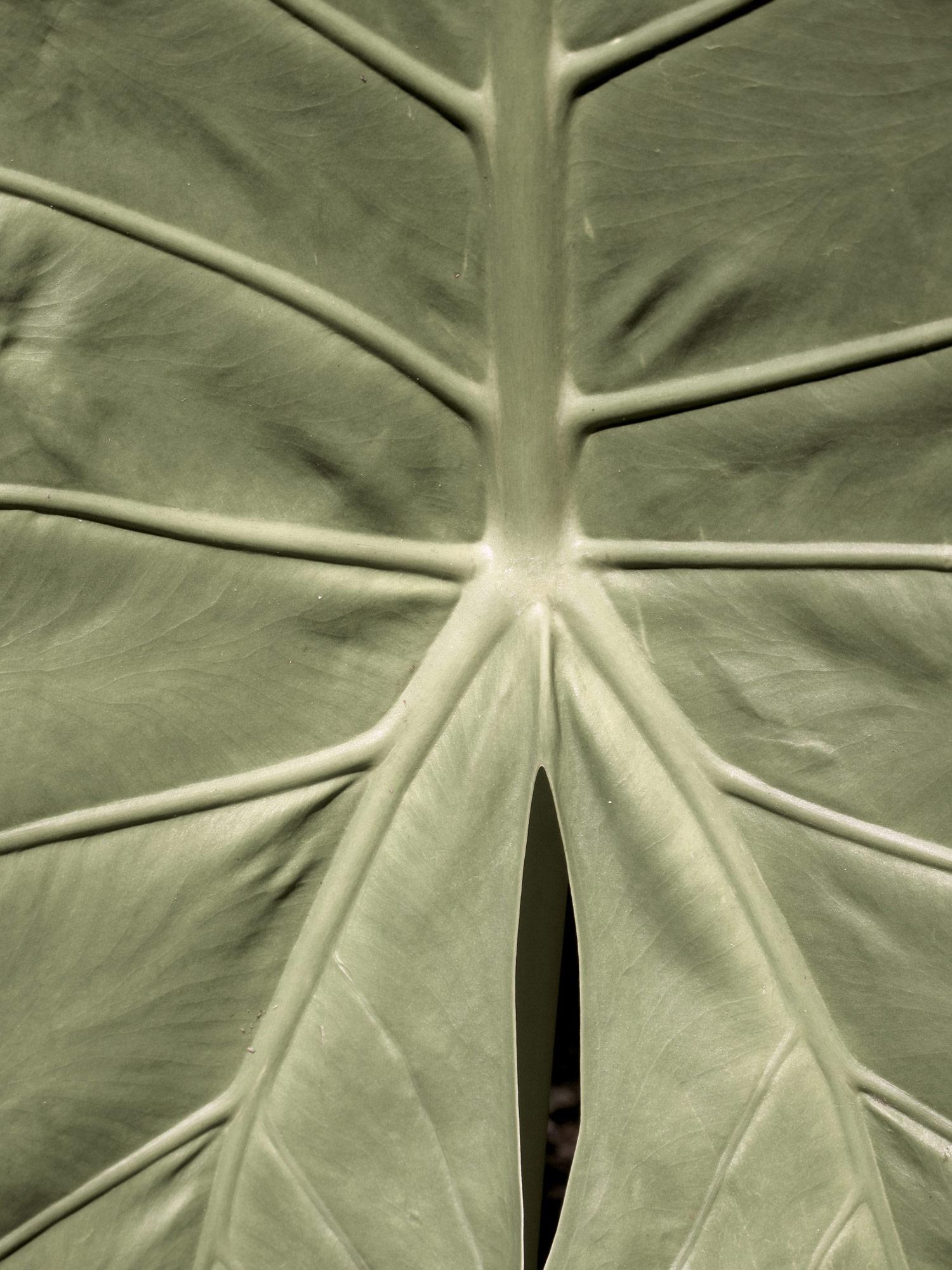 Alocasia-macrorhiza-8-