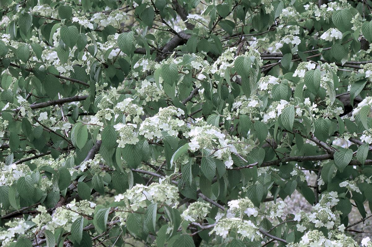 Viburnum plicatum tomentosum 21