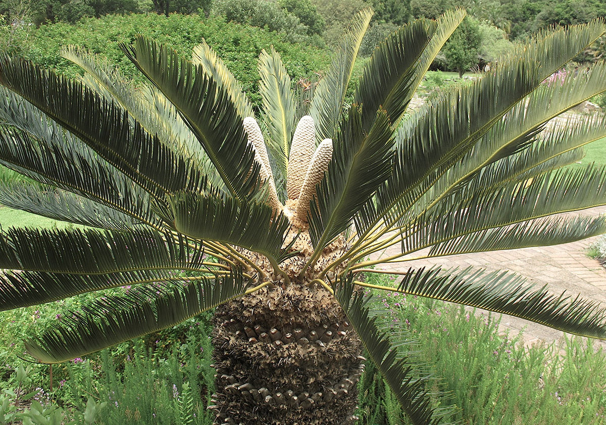 Encephalartos friderici-guilielmi 58