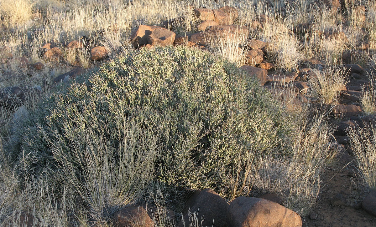 Euphorbia lignosa 29