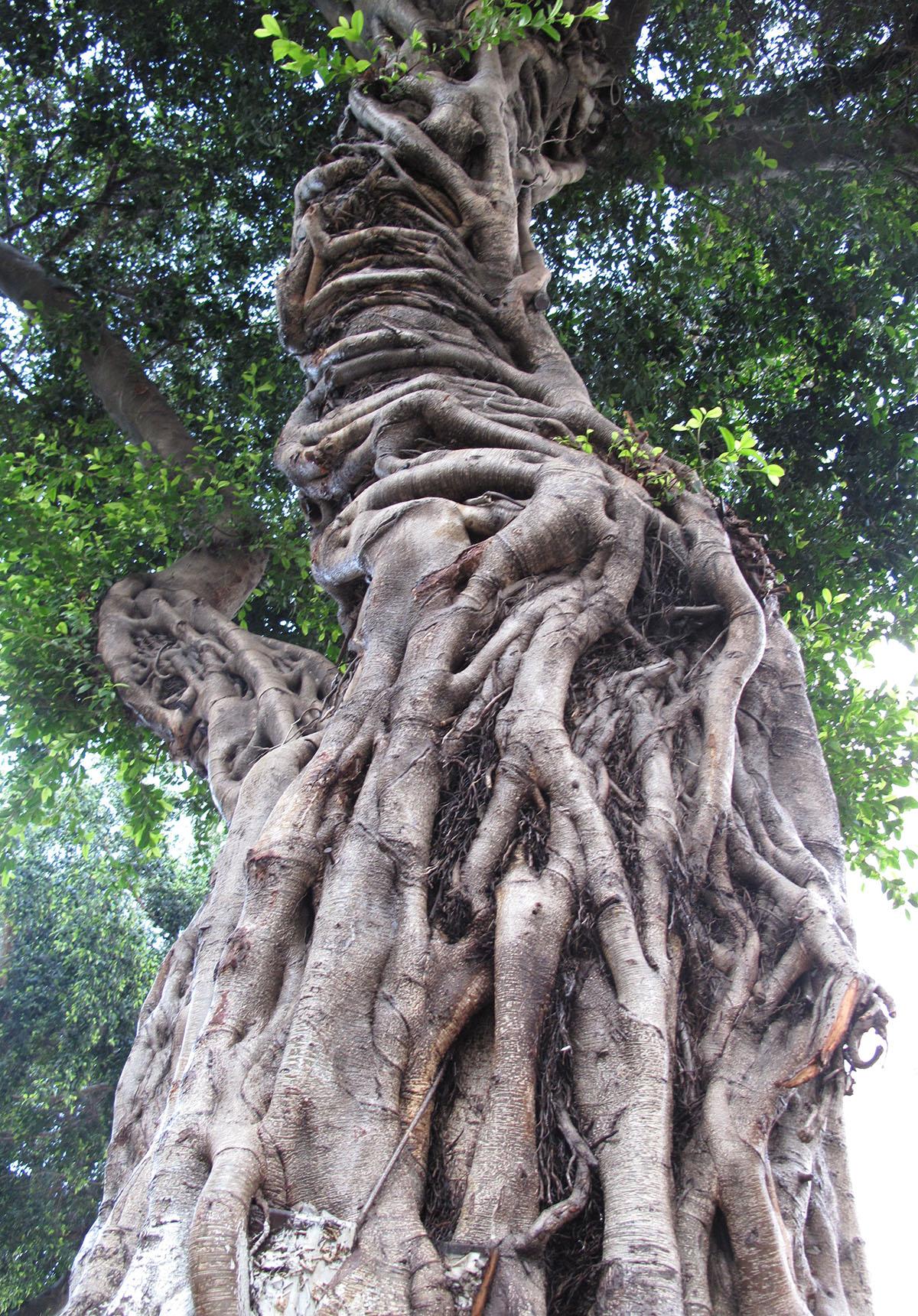 Ficus benjamina 11