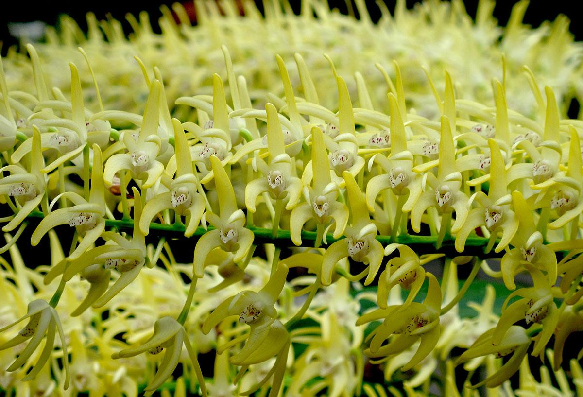 Dendrobium speciosum 5
