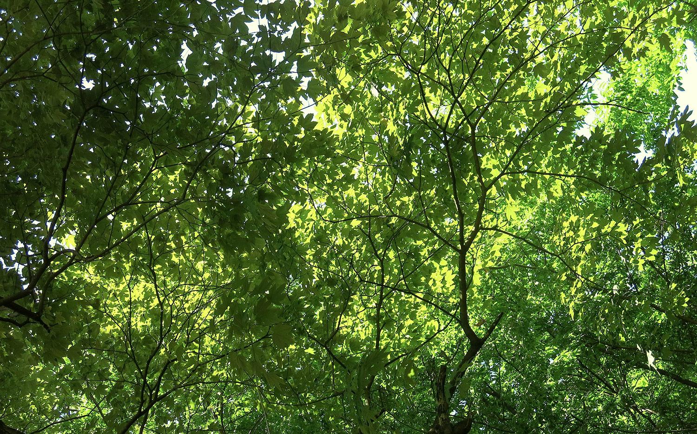 Acer-pseudoplatanus-30-