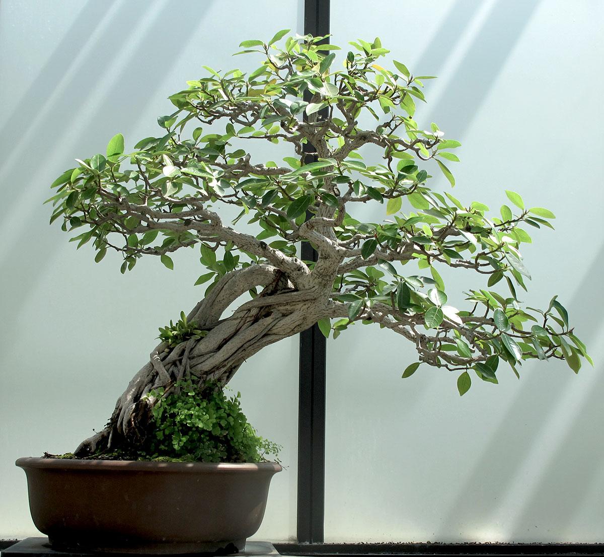 Ficus natalensis 13