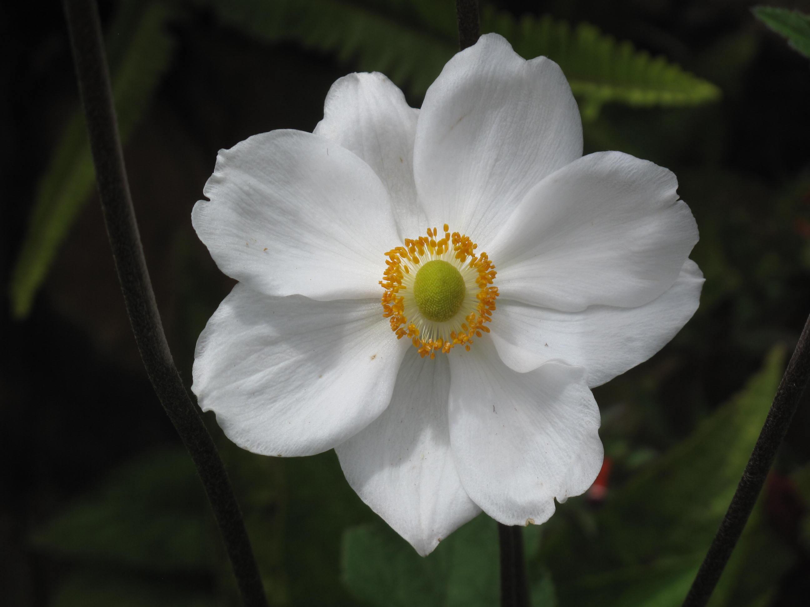 Anemone X hybrida 15