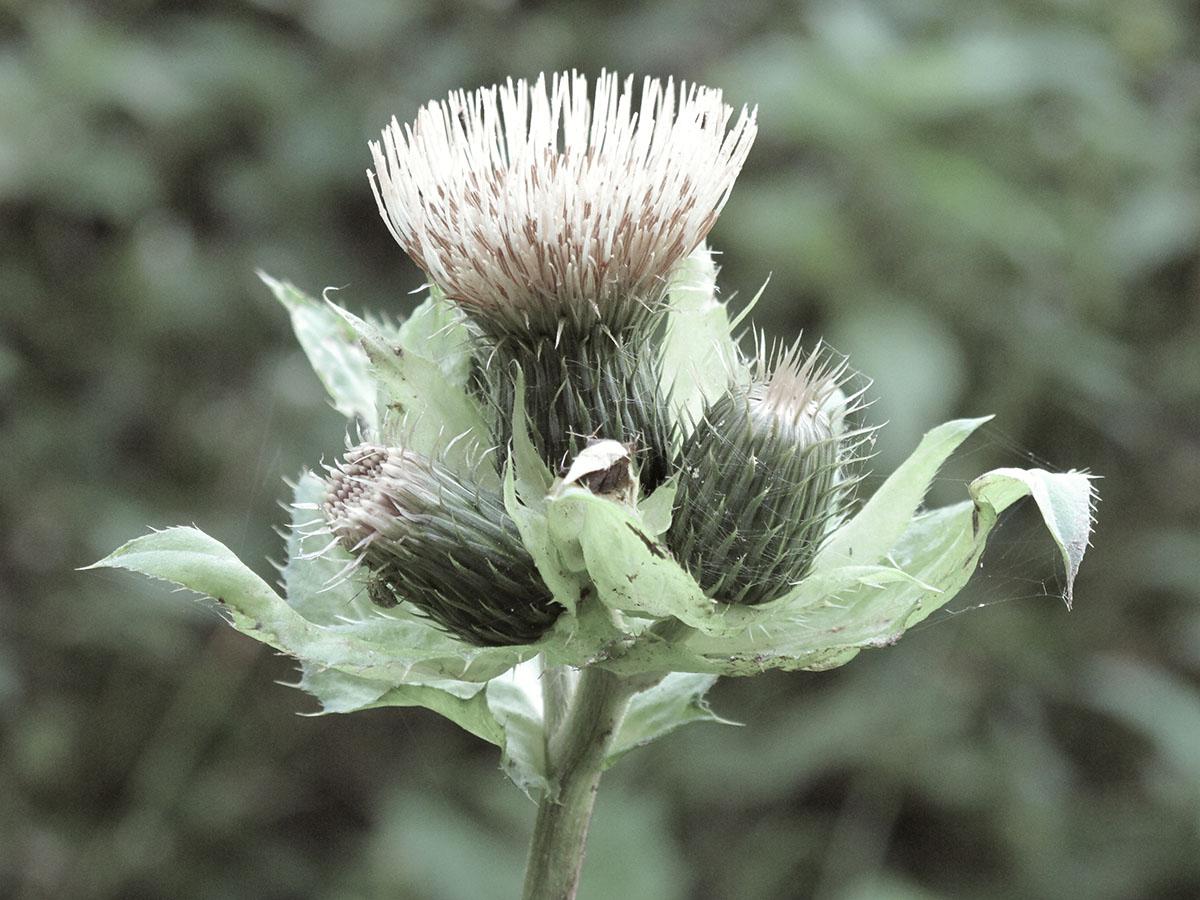 Cirsium canum 1
