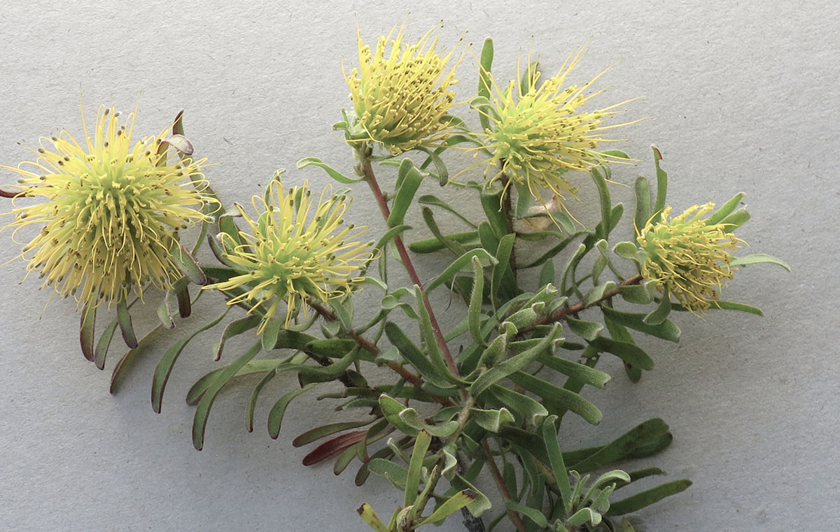 Leucospermum graciile 2