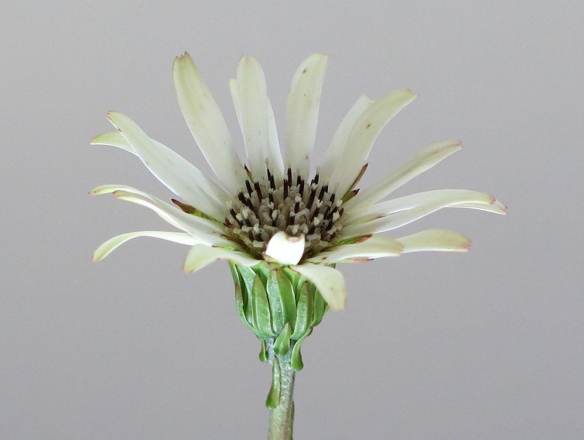 Gerbera crocea 4