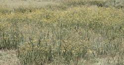 Pentzia sphaerocephala 12