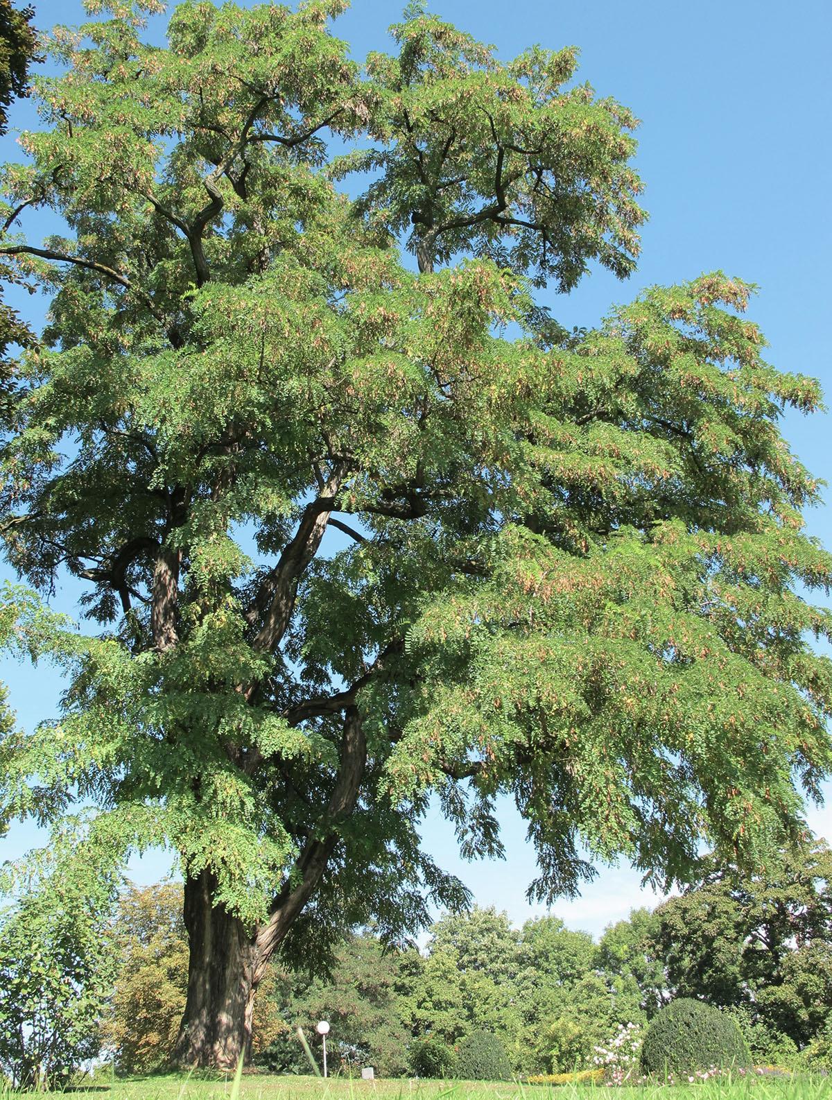 Robinia pseudoacacia 11