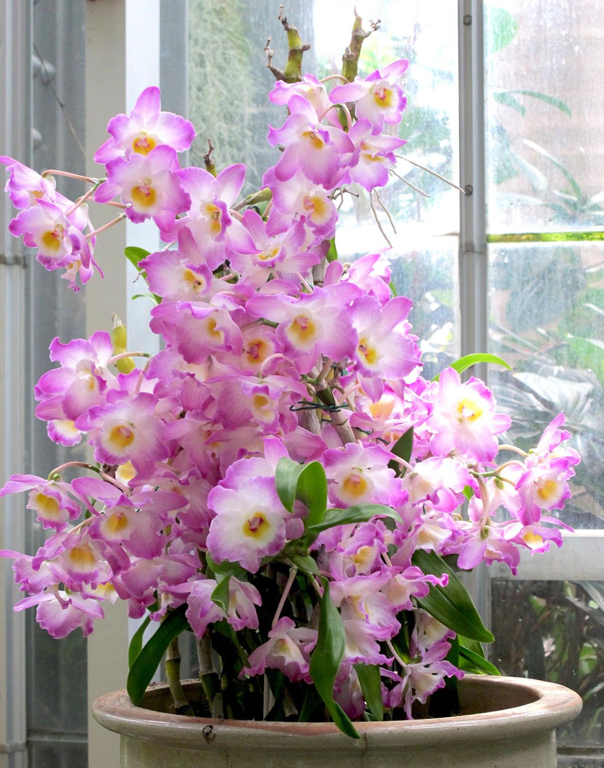 Dendrobium Angel Flower 4
